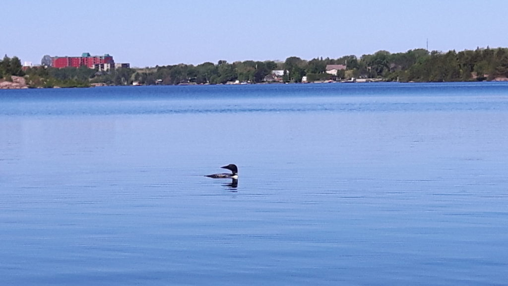 A loon swimming in Nepawhin Lake
